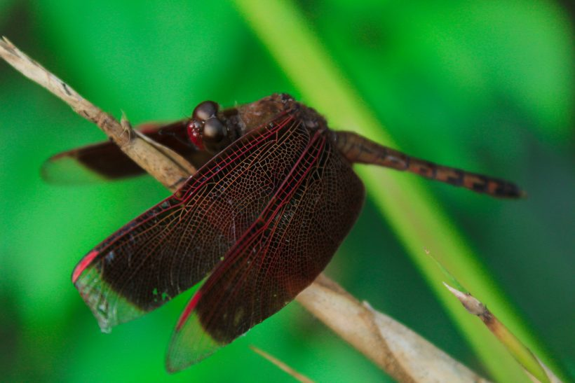 Dragonfly, The Environmentally Important Fairy-Like Insect