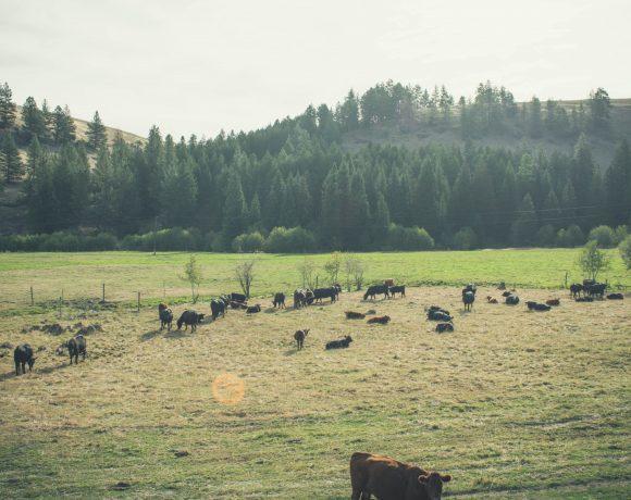 hi, cow