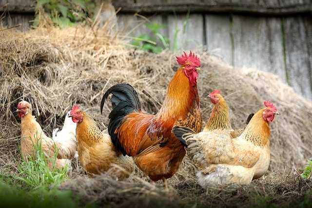 Are Chickens Really The Closest Descendants Of T-Rex?