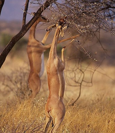 gerenuk eating by frederic salein