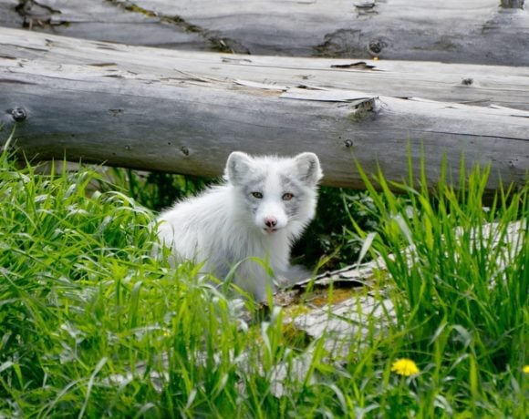 arctic fox in its den