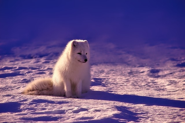 Arctic Fox, The Furry Gardener From Northern Tundra