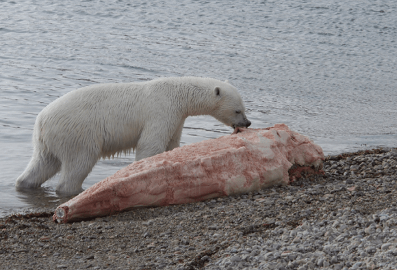 polar bear eating narwhal carcass (Wikimedia Commons)