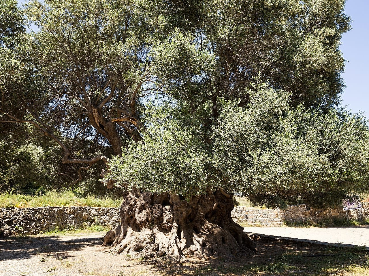 ancient olive tree by Unukorno