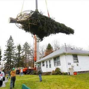 A donated Christmas tree for the Rockefeller Center is lifted