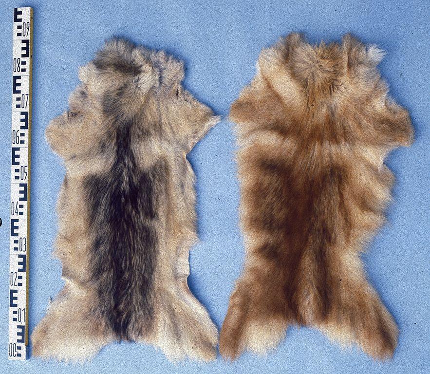 feral dog fur