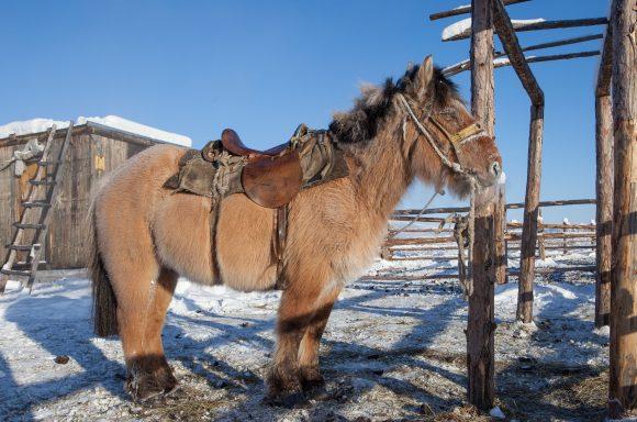 A_Yakutian_horse (Wikimedia Commons)