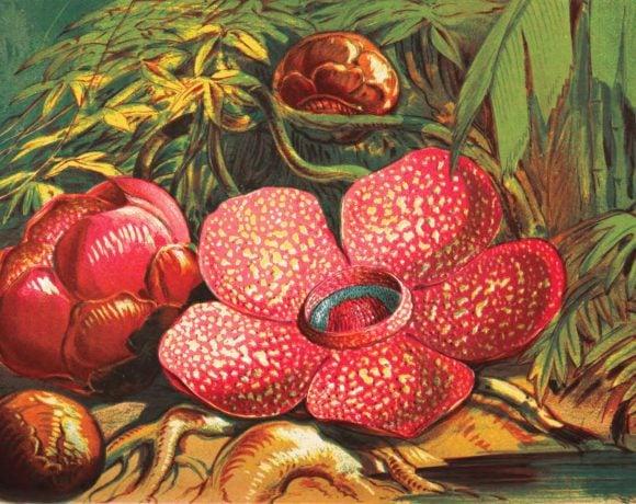 Drawing of rafflesia arnoldii (Wikimedia Commons)