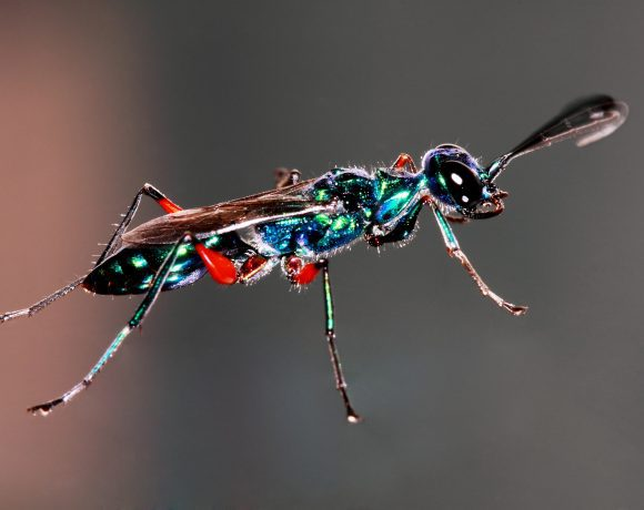 Emerald_Cockroach_Wasp (Wikimedia Commons)