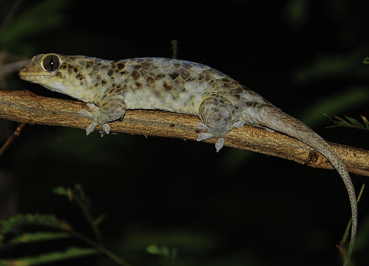 Geckolepis megalepis crop by Scherz MD, Daza JD, Köhler J, Vences M, Glaw F Wikimedia Commons