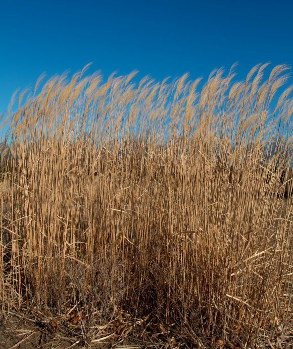 Giant_reed_ (Wikimedia Commons)