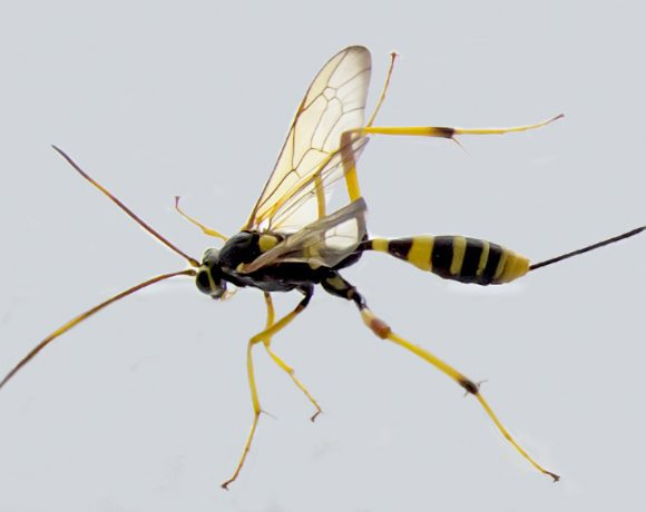 Ichneumon Wasp (Wikimedia Commons)