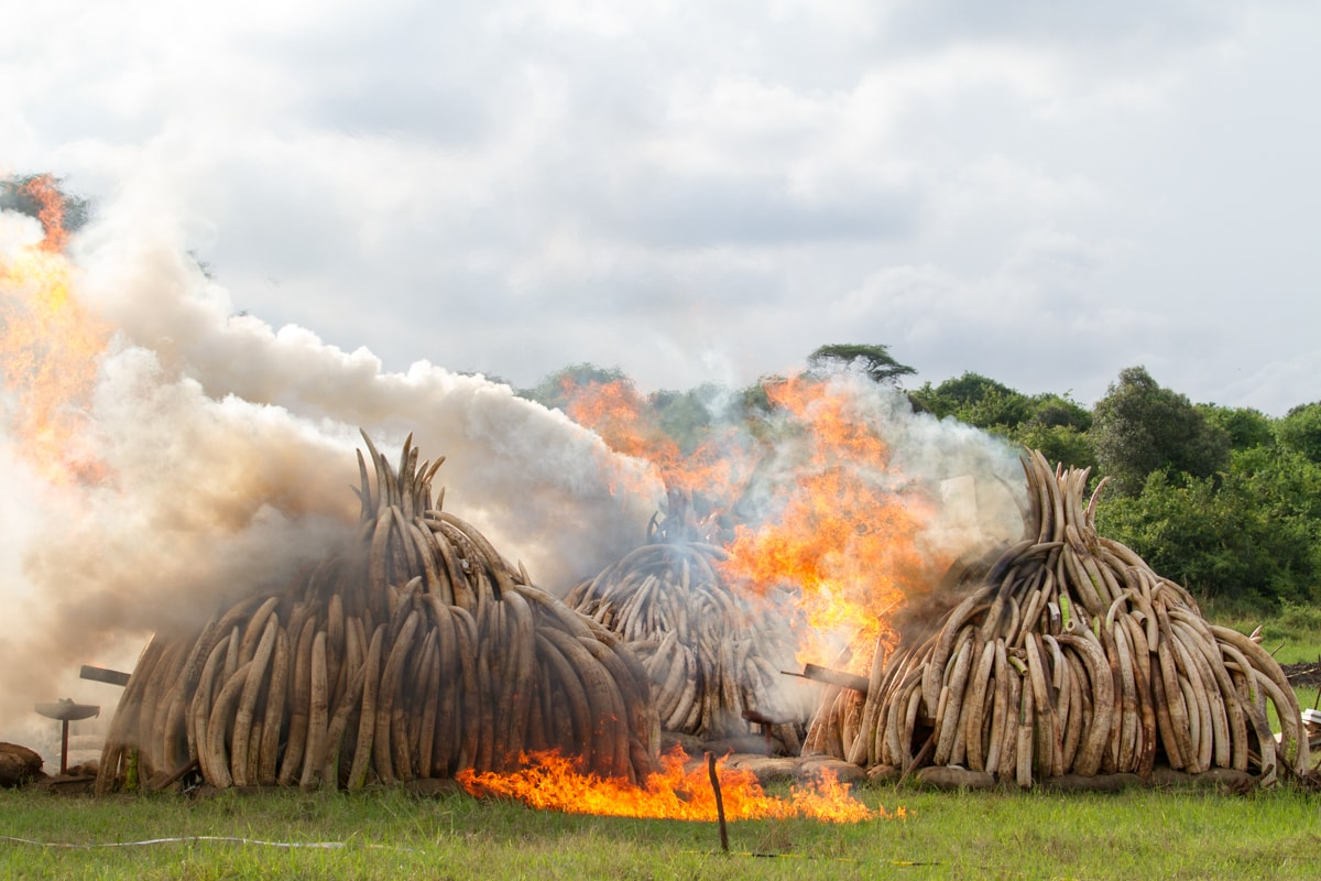Burning of ivory and rhino horn by Mwangi Kirubi Wikimedia