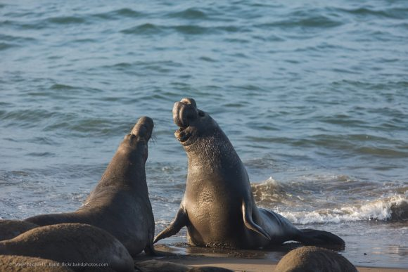 Northern Elephant Seals (Mirounga angustirostris) at sunrise ear