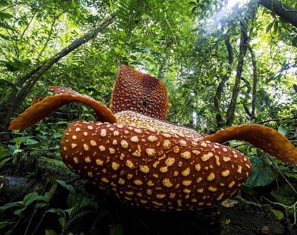 Rafflesia arnoldii Bengkulu (Wikimedia Commons)