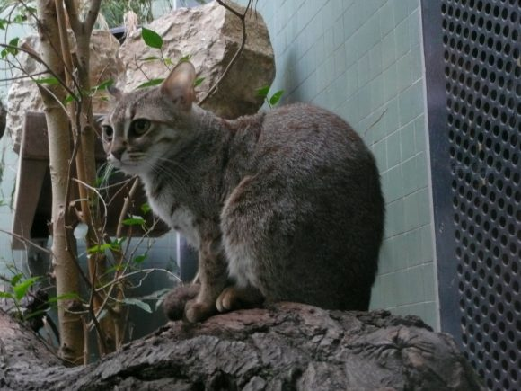 Rostkatze_Zoo_Berlin (Wikimedia Commons)