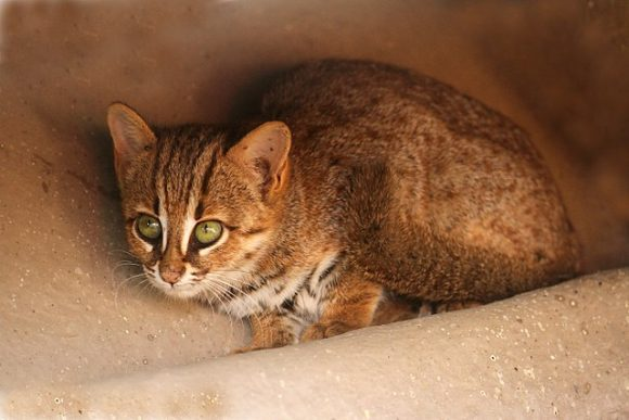 Rusty_spotted_cat (Wikimedia Commons)