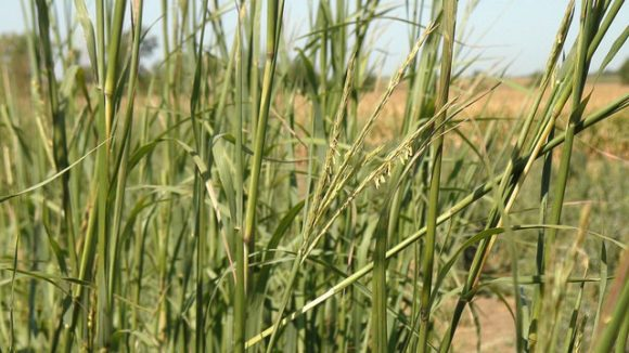 Switchgrass (CenUSA Bioenergy)