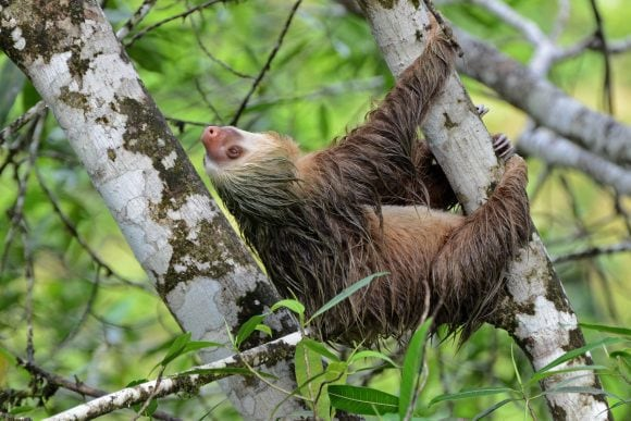 Two-toed_sloth (Wikimedia Commons)