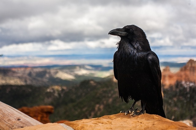 Behind Those Superstitions, Crows Are Intelligent Animals