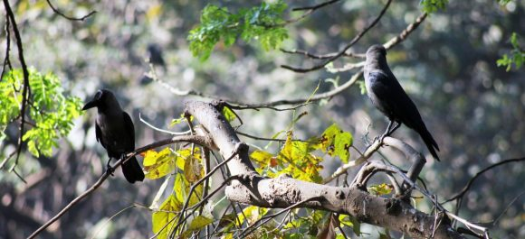 crow on branches