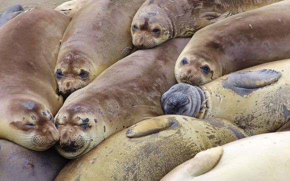 Elephant seal colony (mirounga angustirostris), California, 2007