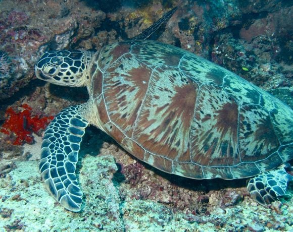 green turtle (Wikimedia Commons)