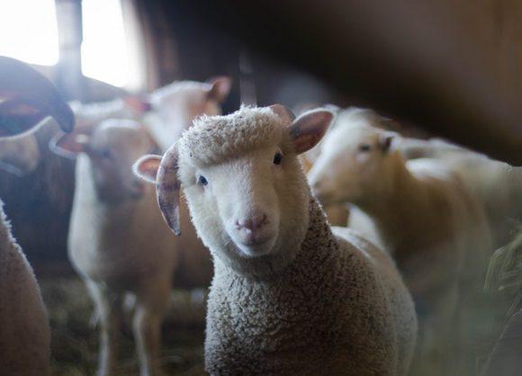 Livestock produce manure