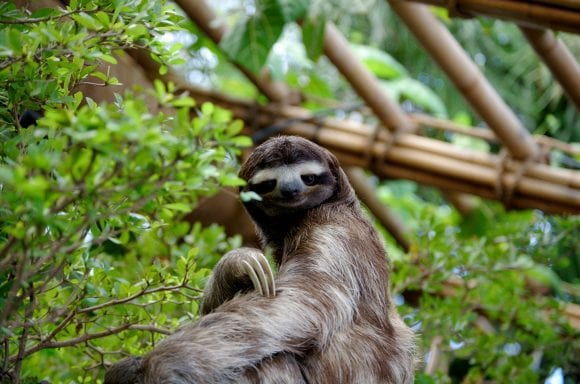 sloth posing (Wikimedia Commons)