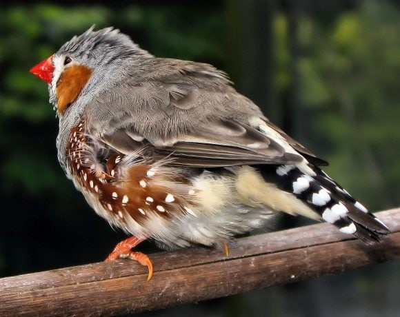 zebra finch (Wikimedia Commons)