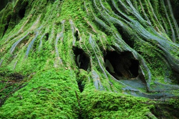 Alishan_Forest_Stump_Moss (Wikimedia Commons)