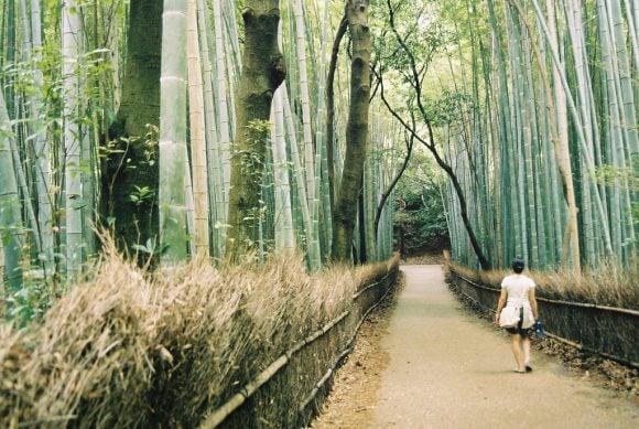Bamboo_forest,_Arashiyama (Wikimedia Commons)