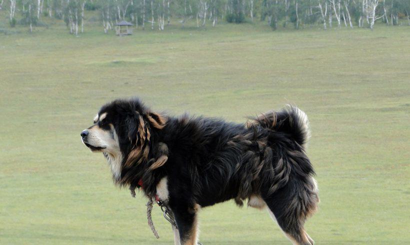 Mongolian Bankhar, The Savior Of The Livestock And Steppes