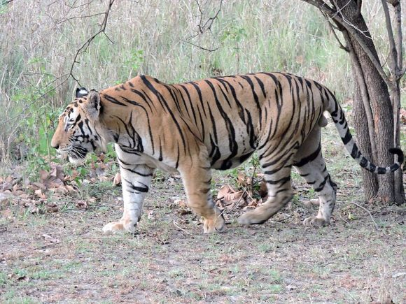 Bengal tiger (Wikimedia Commons)