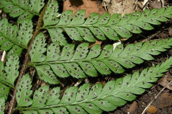 Chilean_Shield_Fern (Wikimedia Commons)