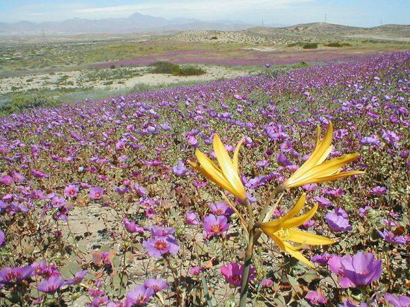 Desierto_florido (Wikimedia Commons)
