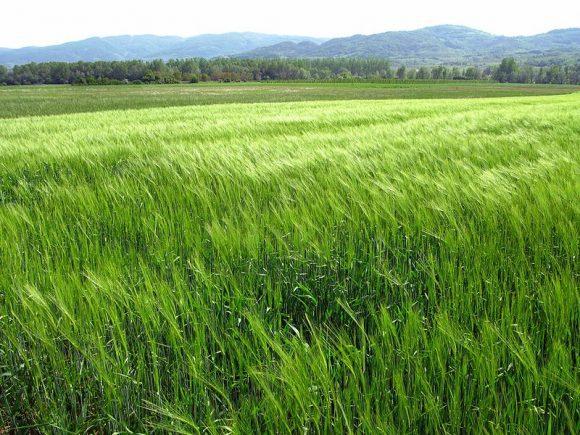 Growing_wheat_field (Wikimedia Commons)