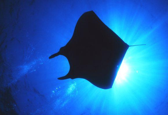Manta Ray (NOAA)