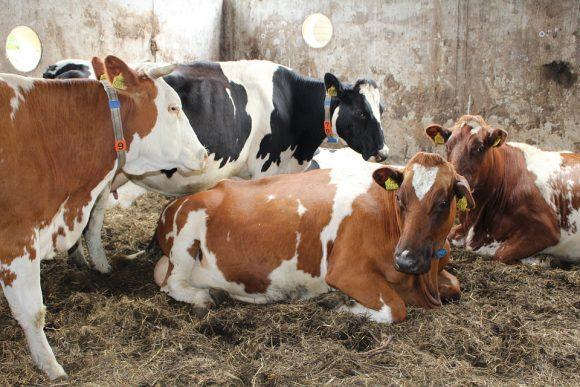 Nature Netherlands Farm Cow Cows Dutch Landscape