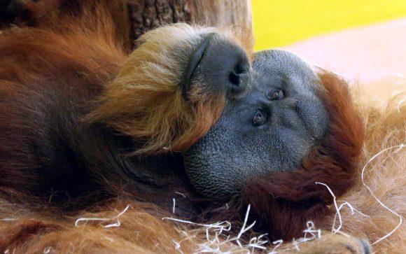 Orangutan big