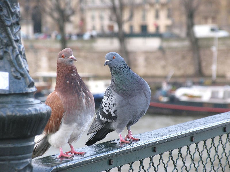 How Pigeons Can Save Us From The Risk Of Air Pollution