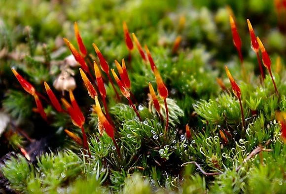 RedMoss (Wikimedia Commons)