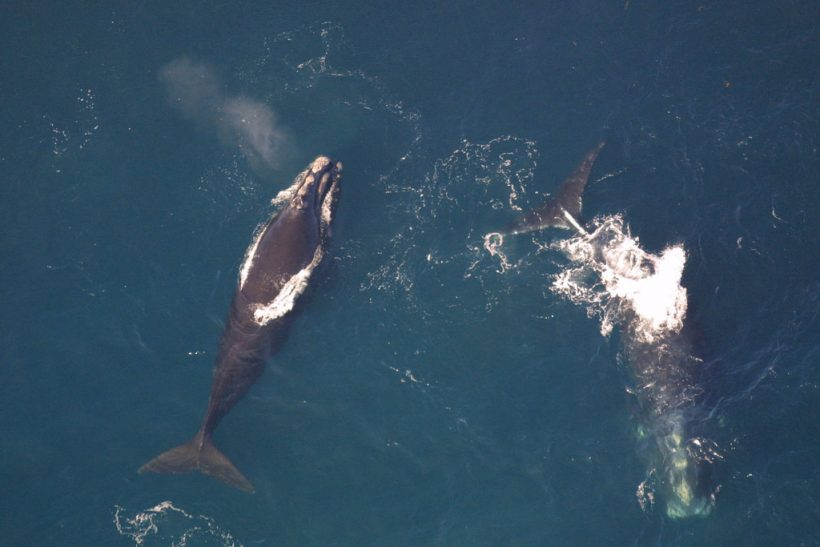 How Lobster Fishing Affects North Atlantic Right Whales Population
