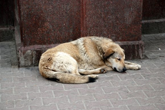 Stray_dogs (Wikimedia Commons)