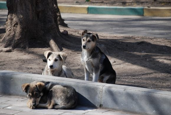 Stray_dogs-pups (Wikimedia Commons)