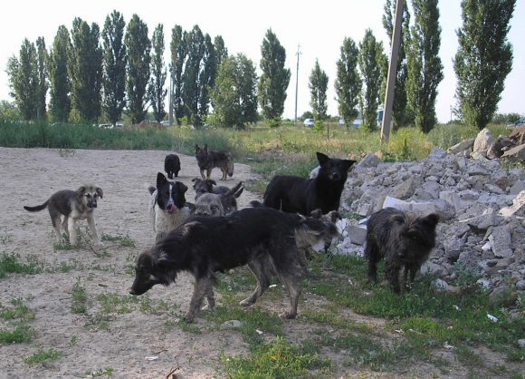 Stray_dogs_Rus (Wikimedia Commons)