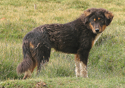 Tibetan Mastiff by Wildxplorer