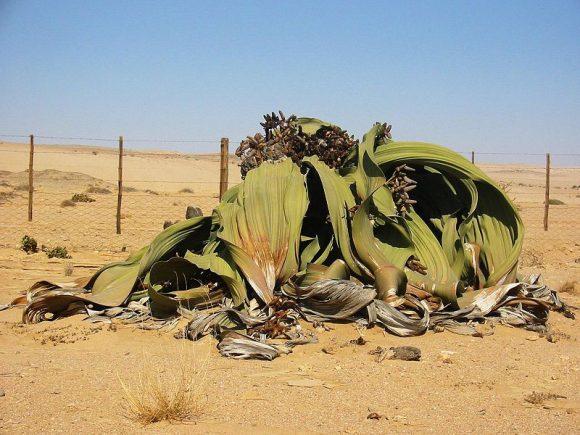 Welwitschia_mirabilis Adult (Wikimedia Commons)