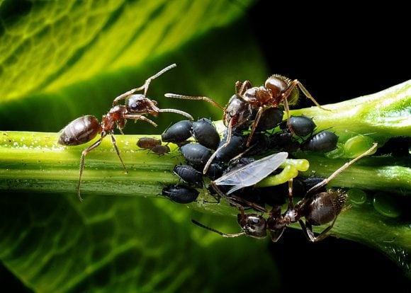 ants_aphids_kennel_leaf_macro-1047393.jpg!d