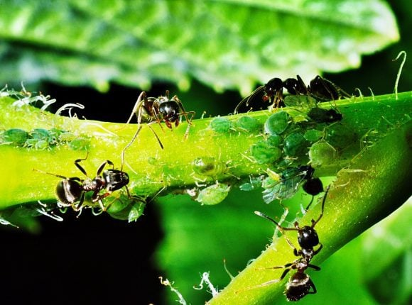 aphids_insects_ants_reproduction_of_nature_the_shepherd_child_care